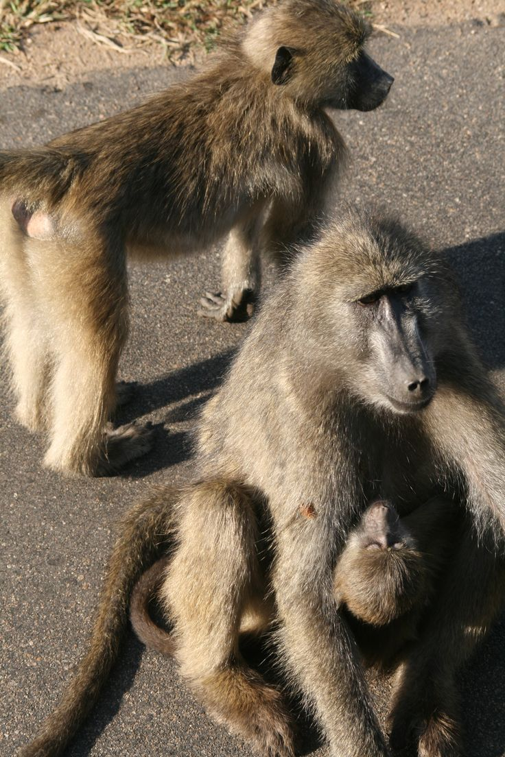 Baby baboon just getting some milk. #EpicEnabled