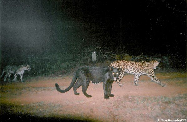 Black Leopards From India's Western Ghats caught on a ...