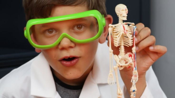 Human Skeleton and Anatomy - Model Building, Bones, Fun Facts and More! ...