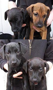 Patterdale Terriers, on Wikipedia