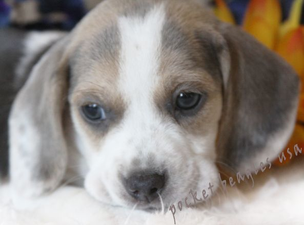 Silver and White Pocket Beagle from Pocket Beagles USA.com