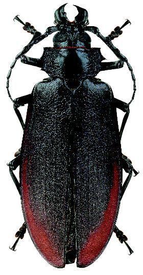 Titanus giganteus (L.) (Cerambycidae: Prioninae)