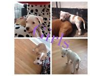 7 staffie pups for sale