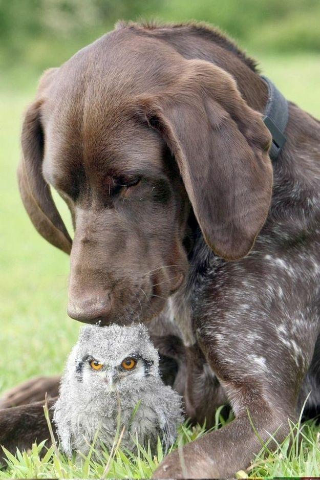 The German Shorthaired Pointer and Her Owlet | The 21 Most Touching Interspecies Friendships You Never Thought Possible
