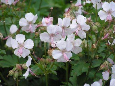 25 beste idee n over geranium biokovo op pinterest geraniums witte tuinen en witte bloemen - Care geraniums flourishing balcony porch ...
