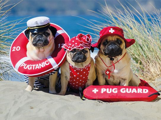 Check out these cute lifeguard pug costumes from the book entitled,' Pugs in Costumes.'