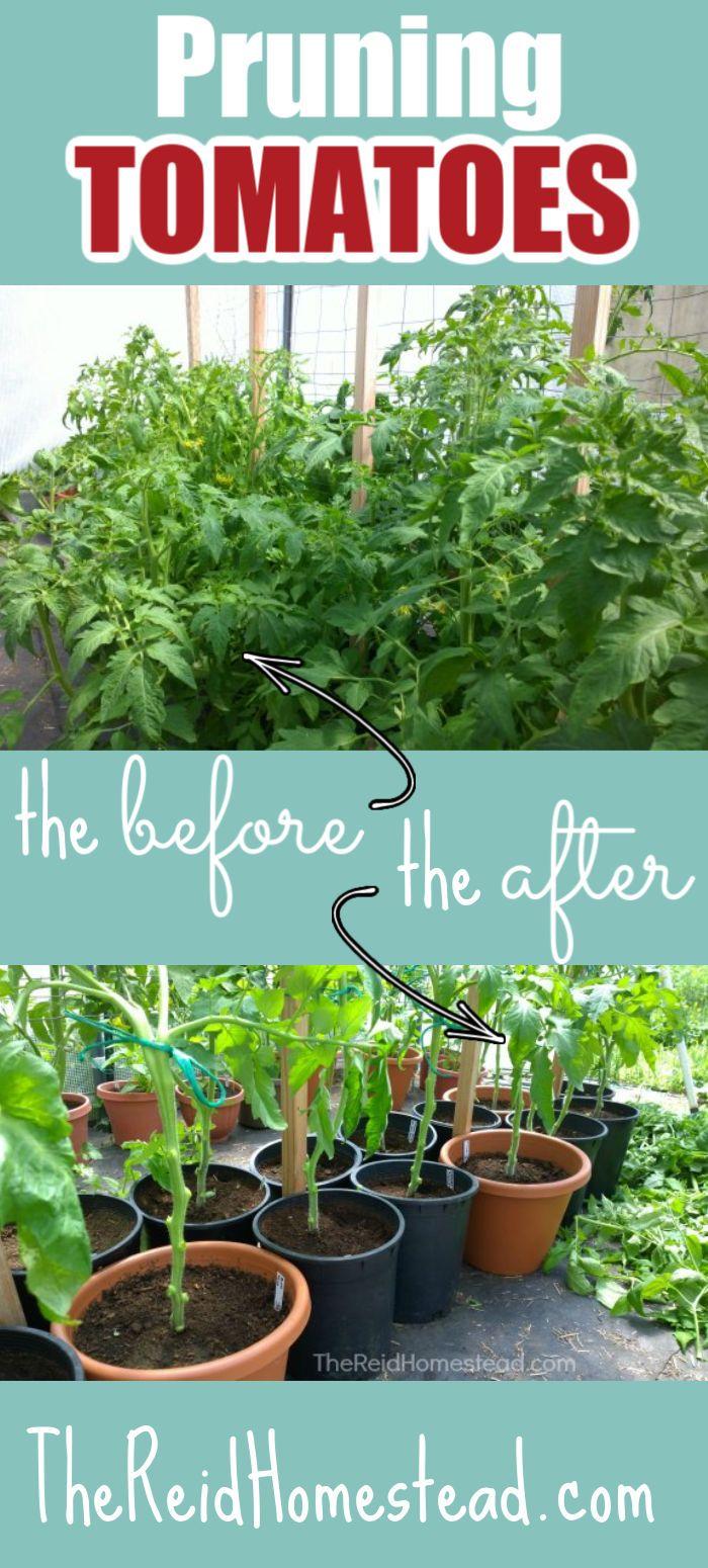 Pin On Gardening Tomatoes