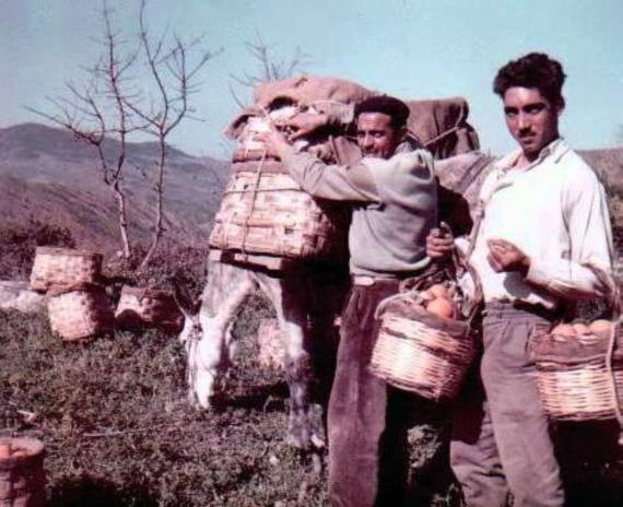 Italian Vintage Photographs  ~ Blog ufficiale dello scrittore siciliano Nunzio Russo.  (Palermo). I contadini raccolgono le arance.