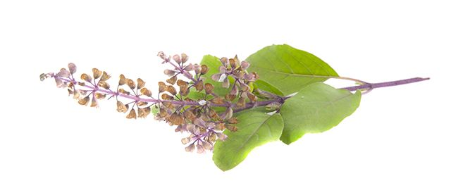 Explore the health benefits and uses of Tulsi (Holy Basil) (Holy Basil, Ocimum Sanctum, Ocimum Tenuiflorum , Ocimum Gratissimum,Krishna Tulsi,African blue basil,Anise basil or Persian basil,Camphor basil, African basil, Cinnamon basil, Dark opal basil, Globe basil, Dwarf basil, French basil, Hoary basil, Holy basil, Spice basil, Lemon basil, Lettuce leaf basil, Purple basil,  Queen of Siam basi) - Immunity builder,Decongestant,Heart Care , Cough,Common Cold,Stress