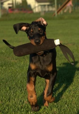 Doberman Pinschers are one of the most demanded breed among all dog breeds.Price of a purely bred Doberman.Click the picture to read more