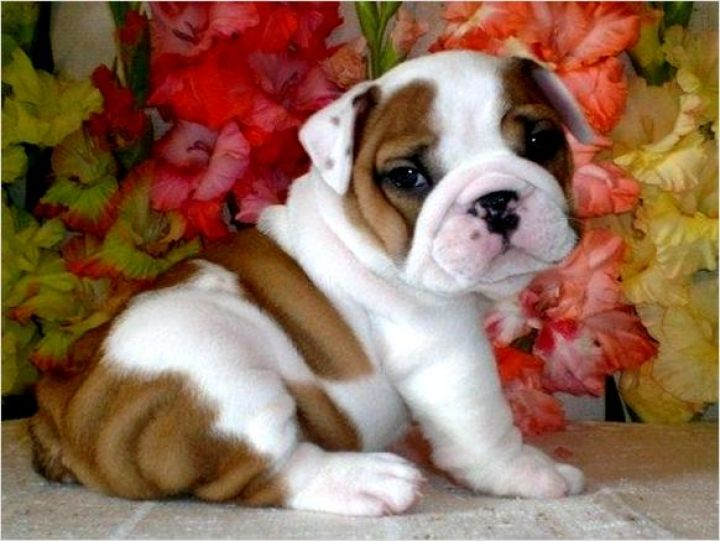 french bulldog puppies new england teacup french bulldogs looplane puppie pinterest 9634