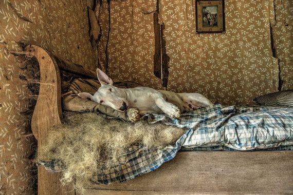 廃墟を冒険するブル・テリア犬、廃屋のソファーで微笑む【画像】 ルクセンブルグの廃屋でリラックスするクレア