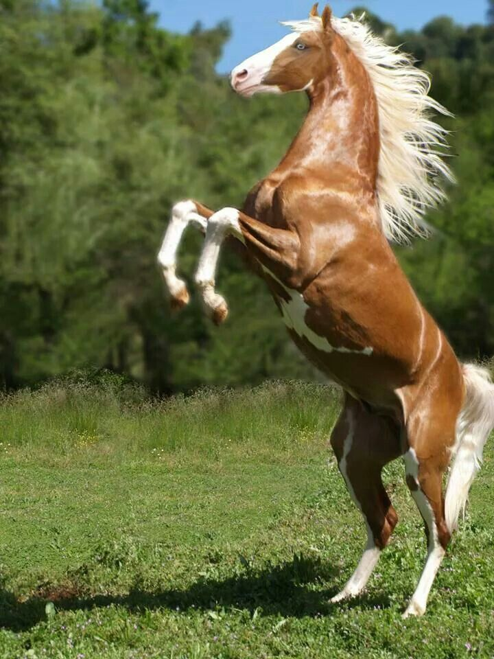 Beautiful Paint horse rearing-up named 'Cheyenne's Gold'