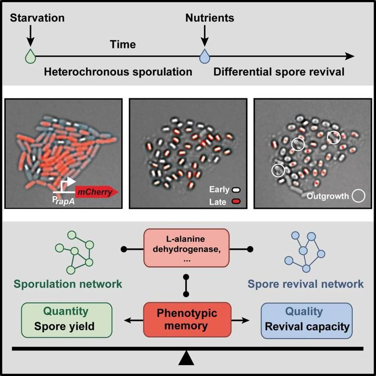 Phenotypic memory in Bacillus subtilis links sporulation and spore revival by a spore quantity-quality tradeoff (http://rdcu.be/D2zx)