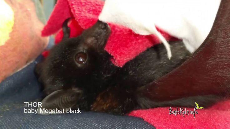 #babybat #orphaned #rescued in care #megabat black male #flyingfox #frui...