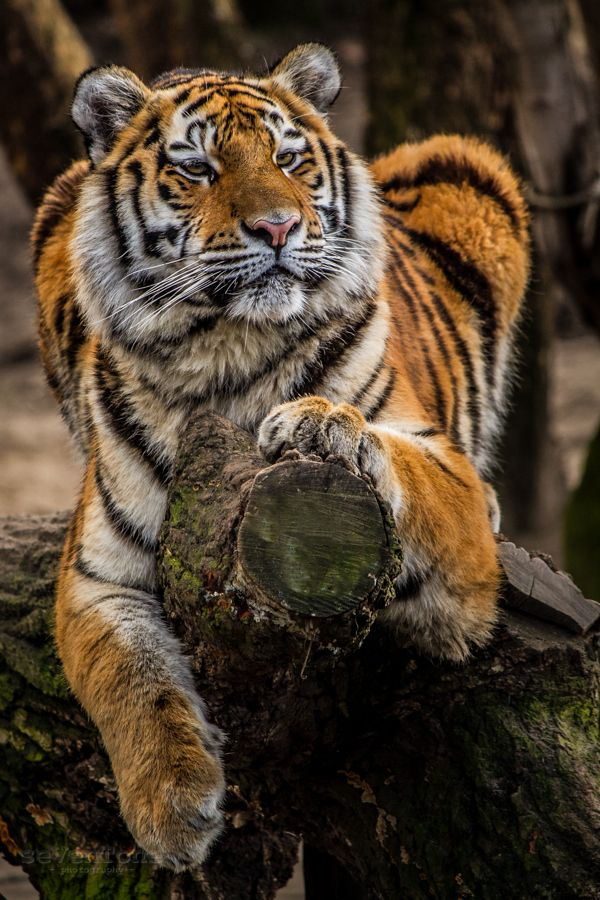 ~~Siberian King | male tiger by seVenTone~~