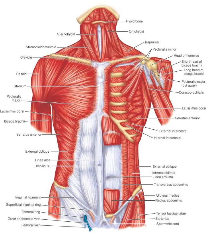 Muscle Identification | general anatomy | Pinterest | Muscles ...