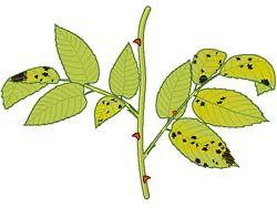 Sternrußtau Rosenrost, Mehltau bei Rosen und deren Behandlung