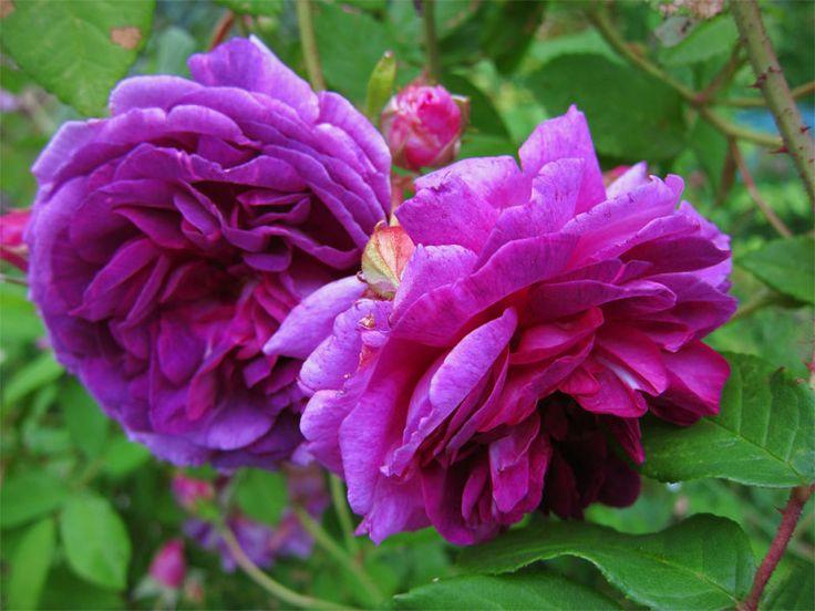 'Tour de Malakoff' - syn 'Black Jack'- Centifolia (1857).  Bloeit éénmalig met sterk geurende, gevulde purper-violet-blauwe, alleenstaande bloemen. Redelijk ziekteresistent, verdraagt ook wat schaduw. 2,5m x 1,5m.