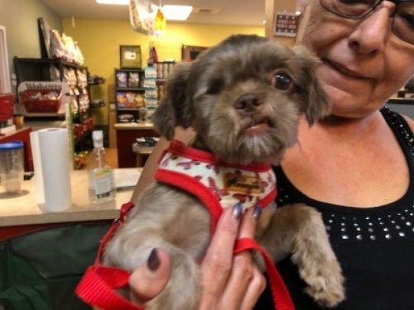 Josh Shih Tzu Dog For Adoption In Bradenton Florida Dog
