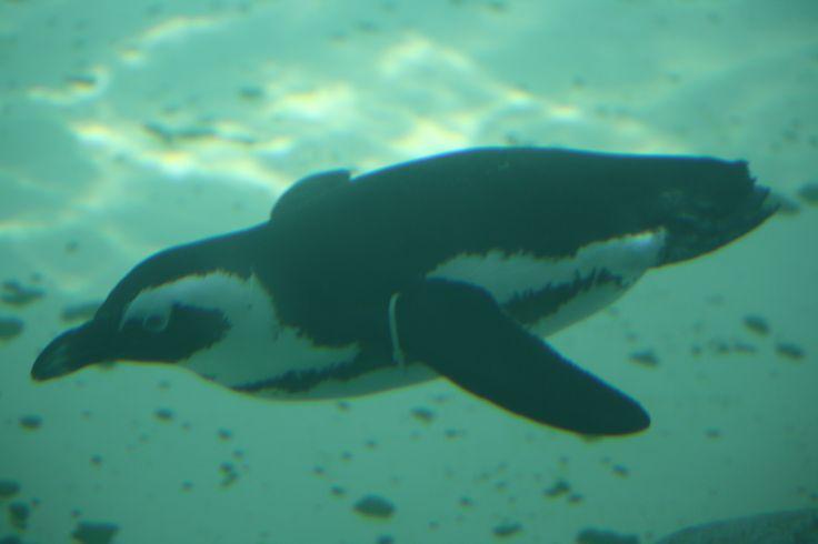 Swimmimg penguin