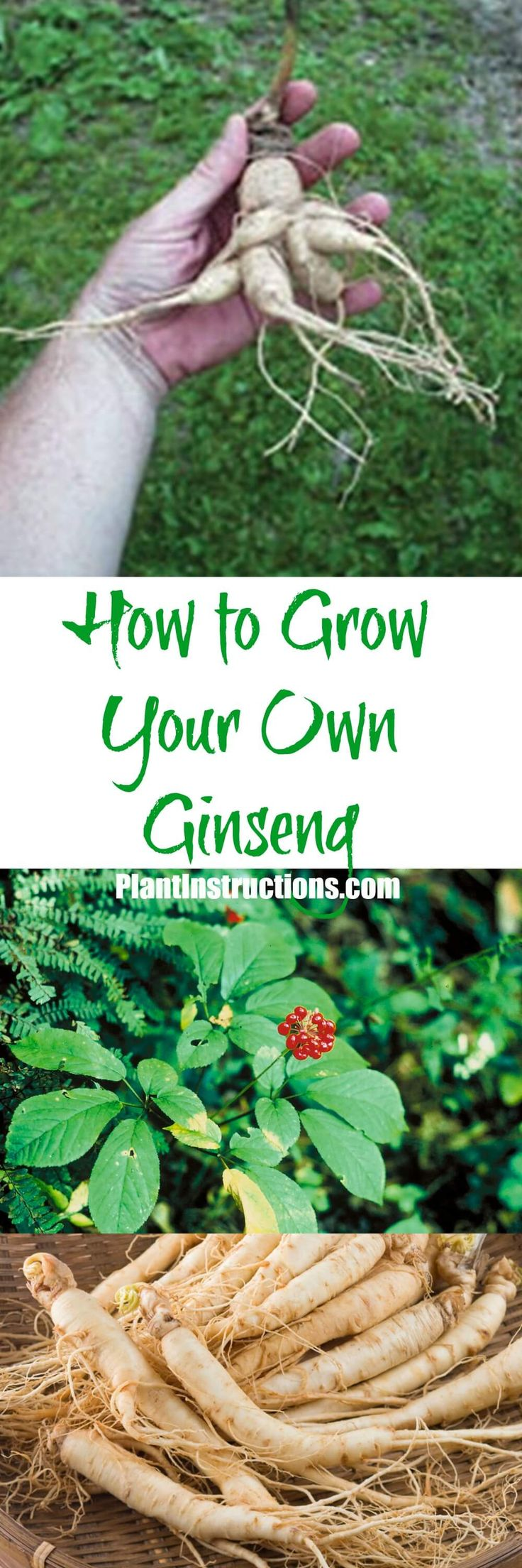 Learn how to grow ginseng with our easy to follow gardening guide! Although hard to find, ginseng is fairly easy to grow and fun too!