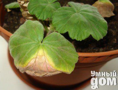 Почему у герани сохнут листья...