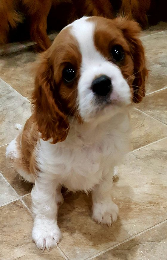 Blenheim Cavalier Puppy King Charles Spaniel King