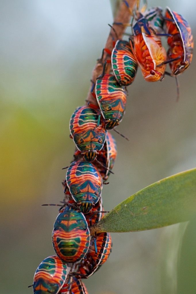 #JewelBugs:  collectively, their stench -  is strong enough to ward off -  eager predators -  #Haiku