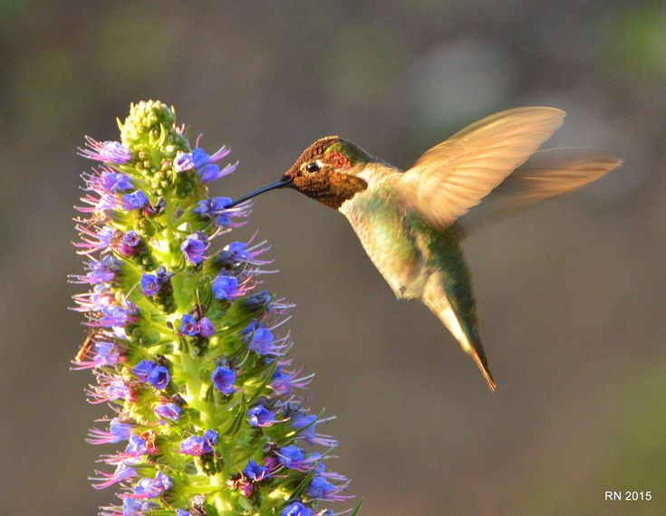 Our Hummingbird Photo Gallery is a collection of our visitors hummingbird photos. Submit your Photo.