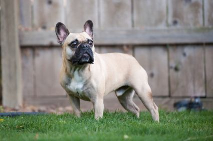 French Bulldogs make one of the best companion dogs in the world. Frenchies are normally well-behaved, but have a reputation for being mischievous and clownish, and craves constant attention and companionship. They love to chase balls and play. #French_Bulldog #Playful