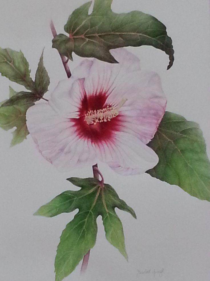 14 best hibiscus images on pinterest botanical art botanical hibiscus sba pesquisa google ccuart Image collections