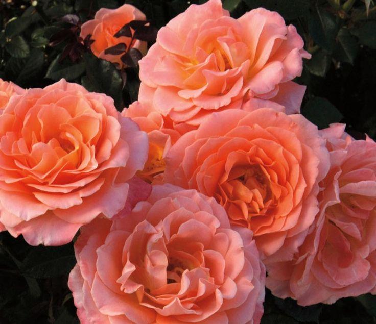 Jump For Joy Rose Google Search Floribunda Roses