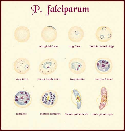 Falciparum- banana shaped gametocyte (falcip does not have trophozoite stage) (vs. band form of developing troph in p. malariae)