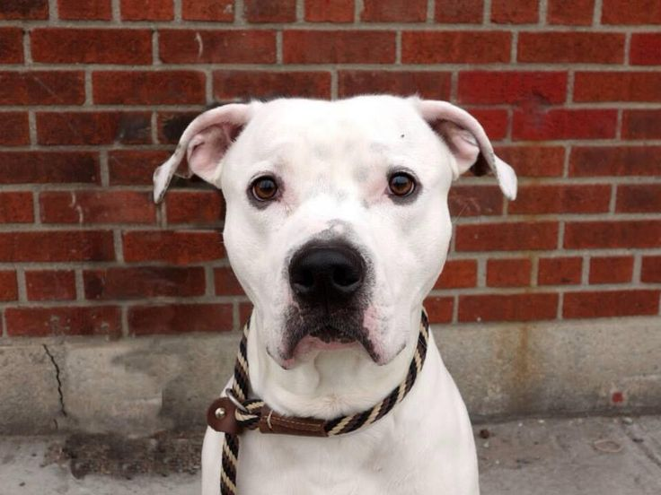 Southern pride on twitter dog adoption animals pitbull mix