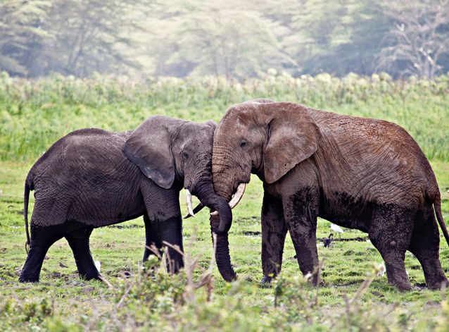 The memory of elephants is legendary, and for good reason. Elephants remember other elephants and individual humans for years — even decades —after they last saw them.