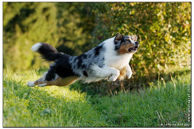 """Spike"" an Australian Shepherd Dog - copyright by www.pfotograf.info"