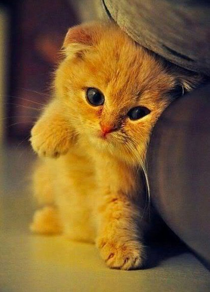♥Kitty Cat, Scottish Folding, Cute Kitty, Baby Kittens, My Heart, Orange Kittens, Cute Kittens, Animal, Baby Cat