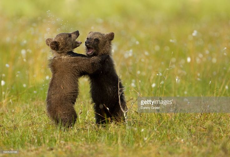 Brown Bear (Ursus arctos) cubs play fighting. Finland, July