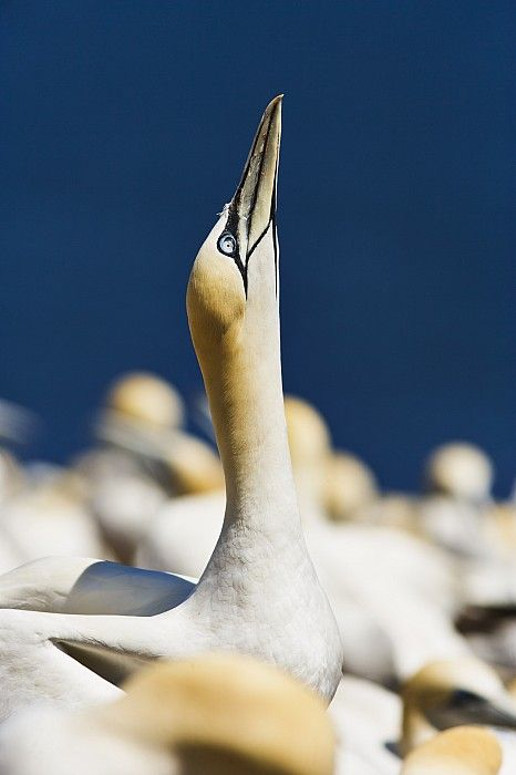 Gannet from Parc National de l'île-Bonaventure-et-du-Rocher-Percé, Gaspésie, Canada; photo by .Yves Marcoux