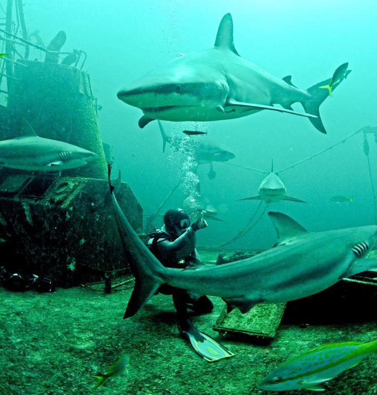 Tubarões selvagens alimentados na costa de Nassau, nas Bahamas. O mergulho shark dive é promovido para mergulhadores certificados e sem gaiolas de proteção. 26/06/2011. Foto: Jonne Roriz/AE