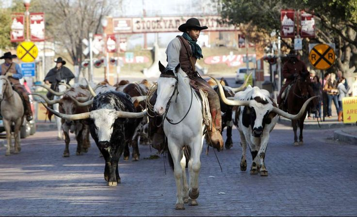 A daily cattle drive takes place at the stockyards in Fort Worth, Texas. - LM Otero/AP Photo