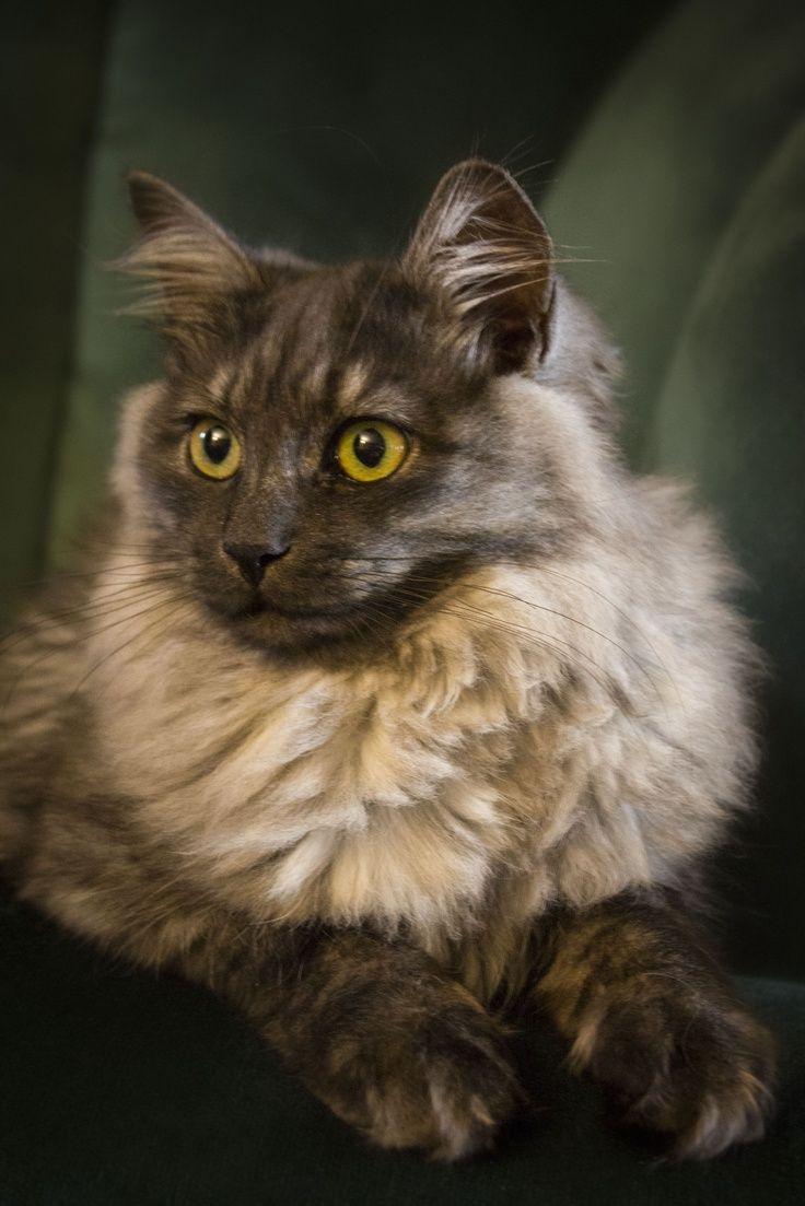 137 best I love my Siberian cat images on Pinterest