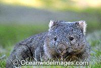 Common Wombat Vombatus ursinus image Wombats are Australian marsupials, which are pouched mammals like the kangaroo, possum and koala.