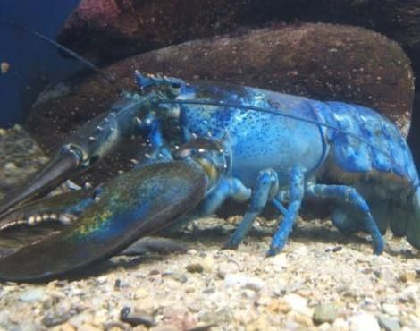 Lobster ~ one of the largest crustaceans, known to weigh up to 20kg...and continues to grow throughout its life..they can live up to a 100 years!  Adult lobsters grow to Enormous sizes!