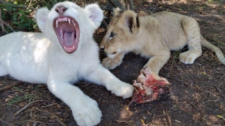 Makulu and Kaluma @ Tenikwa Wildlife Centre