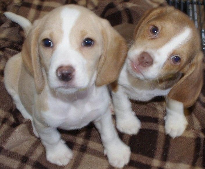 A chocolate and a lemon beagle puppy
