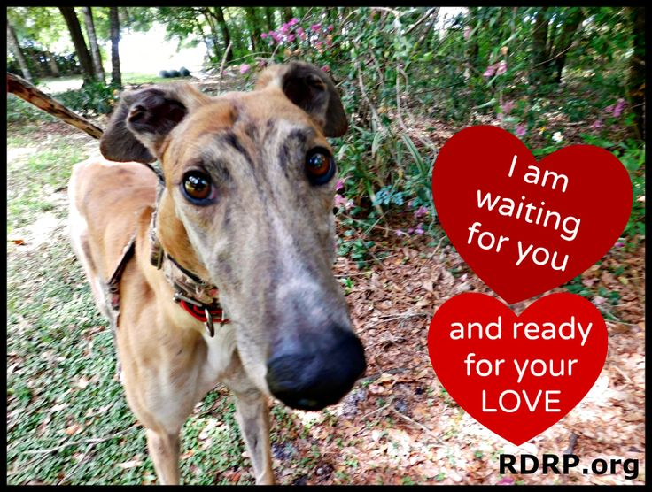 Greyhound Adoption Needed Www Rdrp Org Greyhound Adoption Love You Poster