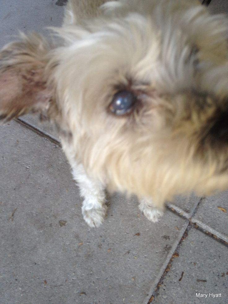 My Miniature Schnauzer Is Blind From Glaucoma
