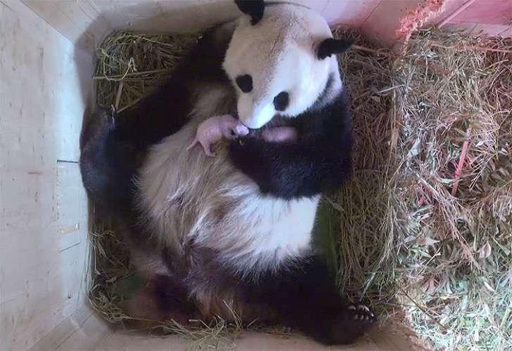 Se esperaba que esta panda gigante diera a luz a un cachorro pero en vez de eso tuvo gemelos!